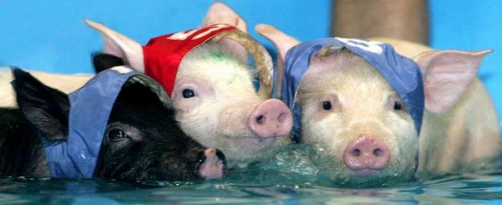 Teacup Pigs Take Care Of Their Safety