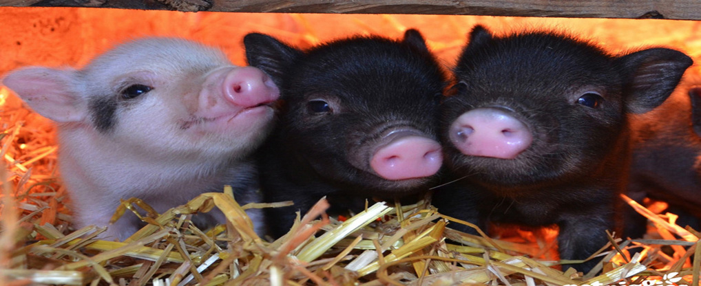 Teacup Pigs: Bring Home these Lovely Creatures