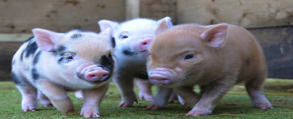 Growing Trend of Teacup Pigs